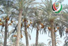 صورة وزارة المالية : مزاد لبيع 4200 نخلة مثمرة في جنوب سعد العبدالله